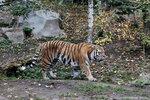 Panthera_tigris_altaica_амурский_тигр_Leipzig_zoo_22.10.2012 (386).jpg
