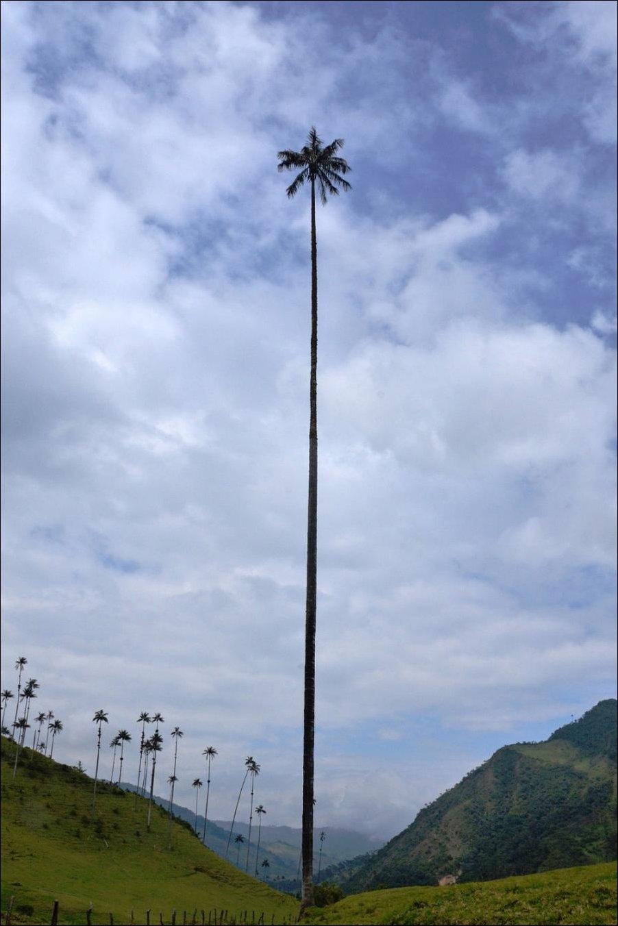 Где растут такие пальмы ...