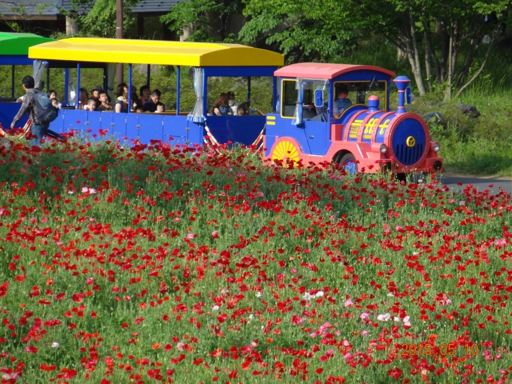 Японские красные маки в парке Сёва