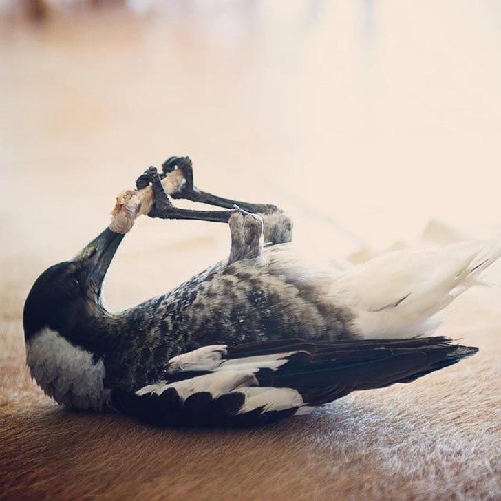 Pingvin--umnaya-domashnyaya-soroka-kotoraya-lyubit-povalyatsya-v-posteli-i-pomogaet-detyam-chistit-zuby-20-foto