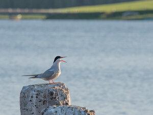 Речная крачка (Sterna hirundo)Альбом: Из жизни птицРечная, или обыкновенная крачка — Sterna hirundo (Laridae)