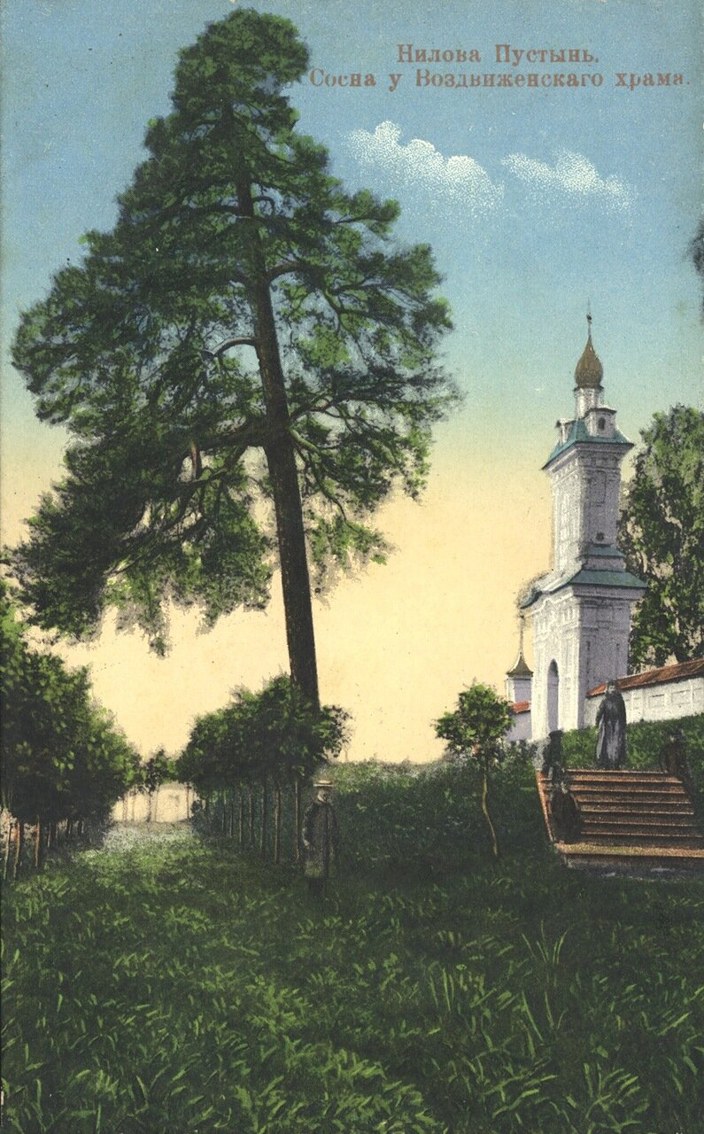 Сосна у Воздвиженского храма