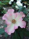 Розы из питомника Барни 2013