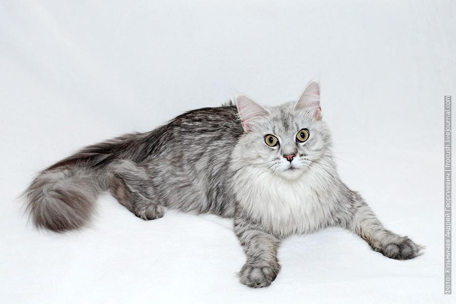 Москва производитель кошка Мейн-кун из питомника