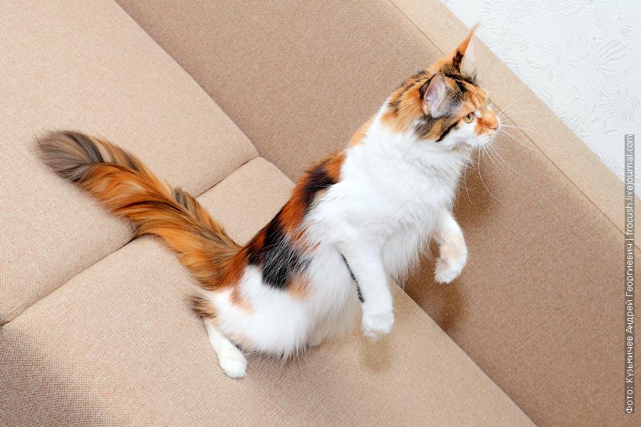 кошка Мейн-кун питомник Москва