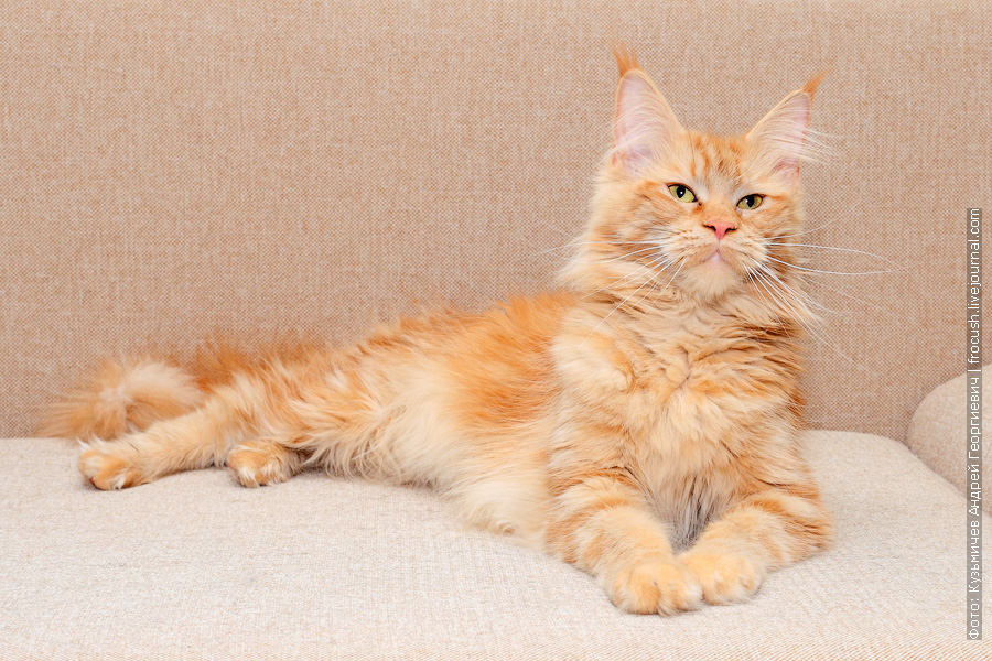 питомник Москва рыжая кошка Мейн-кун