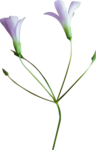 MRD_Promises_purple flower3.png