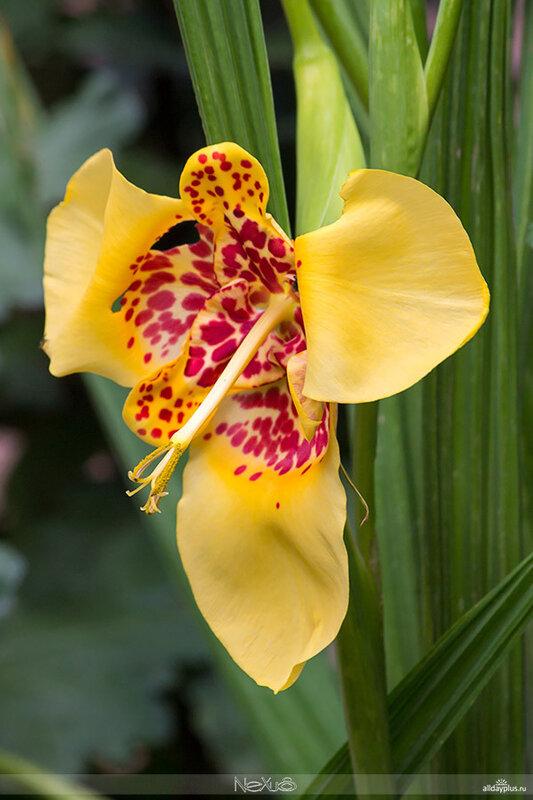 Я люблю 5a8все цветы, выпуск 72 | Тигридия.