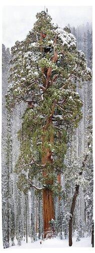 3200 летняя секвойя. Фото составлена из 126 отдельных фотографий