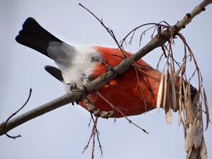 Обыкновенный снегирь (Pyrrhula pyrrhula)