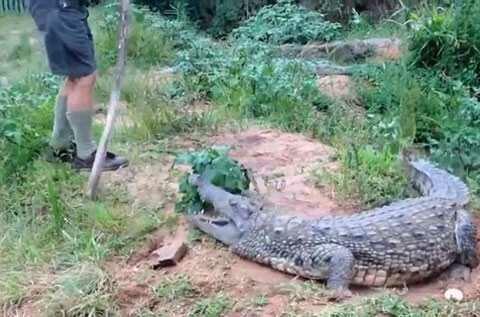 Работник фермы выяснил, чем может закончиться тыканье в крокодила палкой