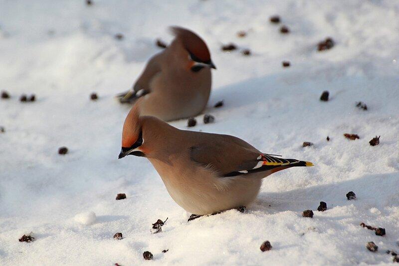 Свиристель на снегу ищет съедобные ягодки рябины среди оброненных с дерева