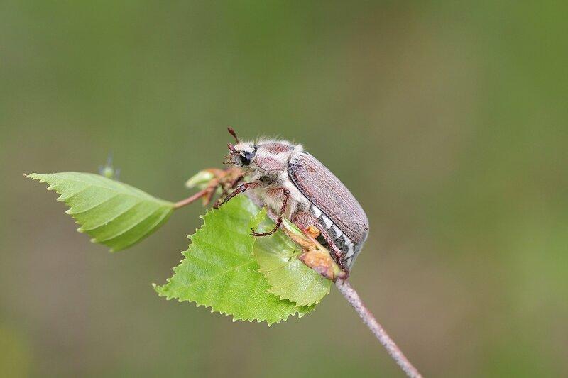 Майский жук (лат. Melolontha hippocastani, Хрущ майский восточный) на веточке берёзы