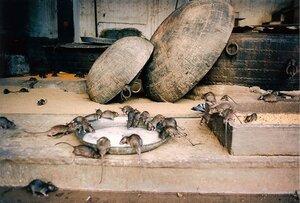 Крысиный храм Карни Мата