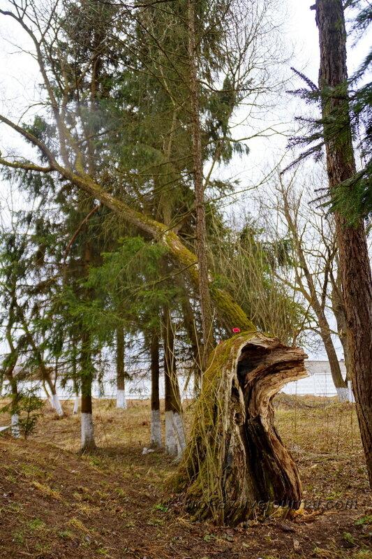 Дерево, на котором была повешена Вера Волошина, Головково