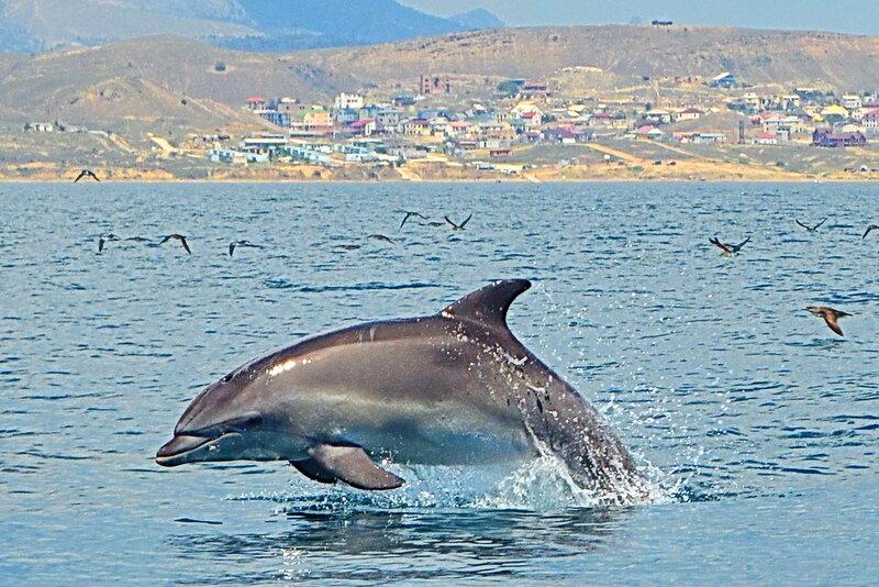Дельфин и чайки над волнами .....