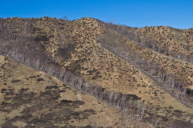 березы в горах инь шань, внутренняя монголия, китай