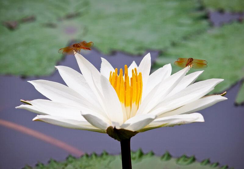 Цветок Будды