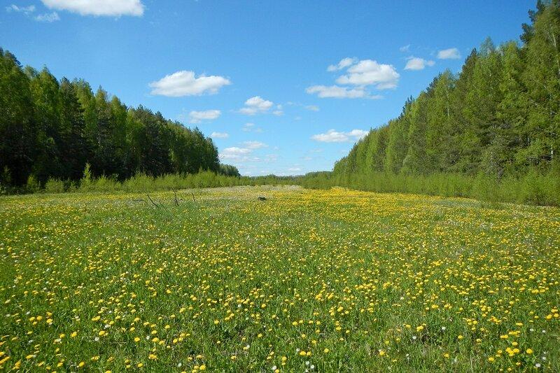 Яранские зарисовки: жёлтая цветущая полянка между лесами