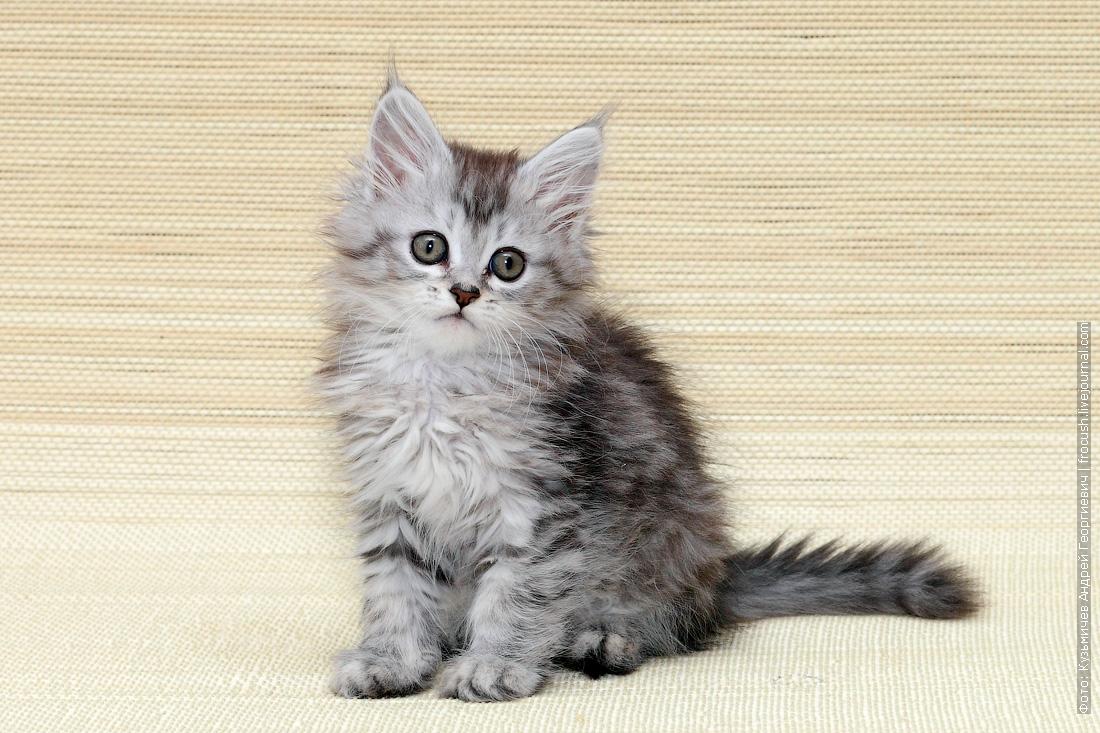 купить в москве мейн кун котенок