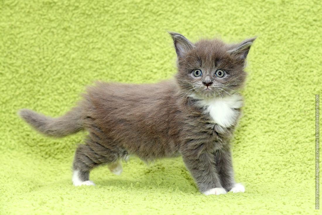 купить котята Мейн-кун