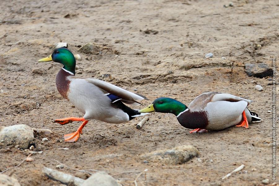 утки кряквы на берегу Химкинского водохранилища