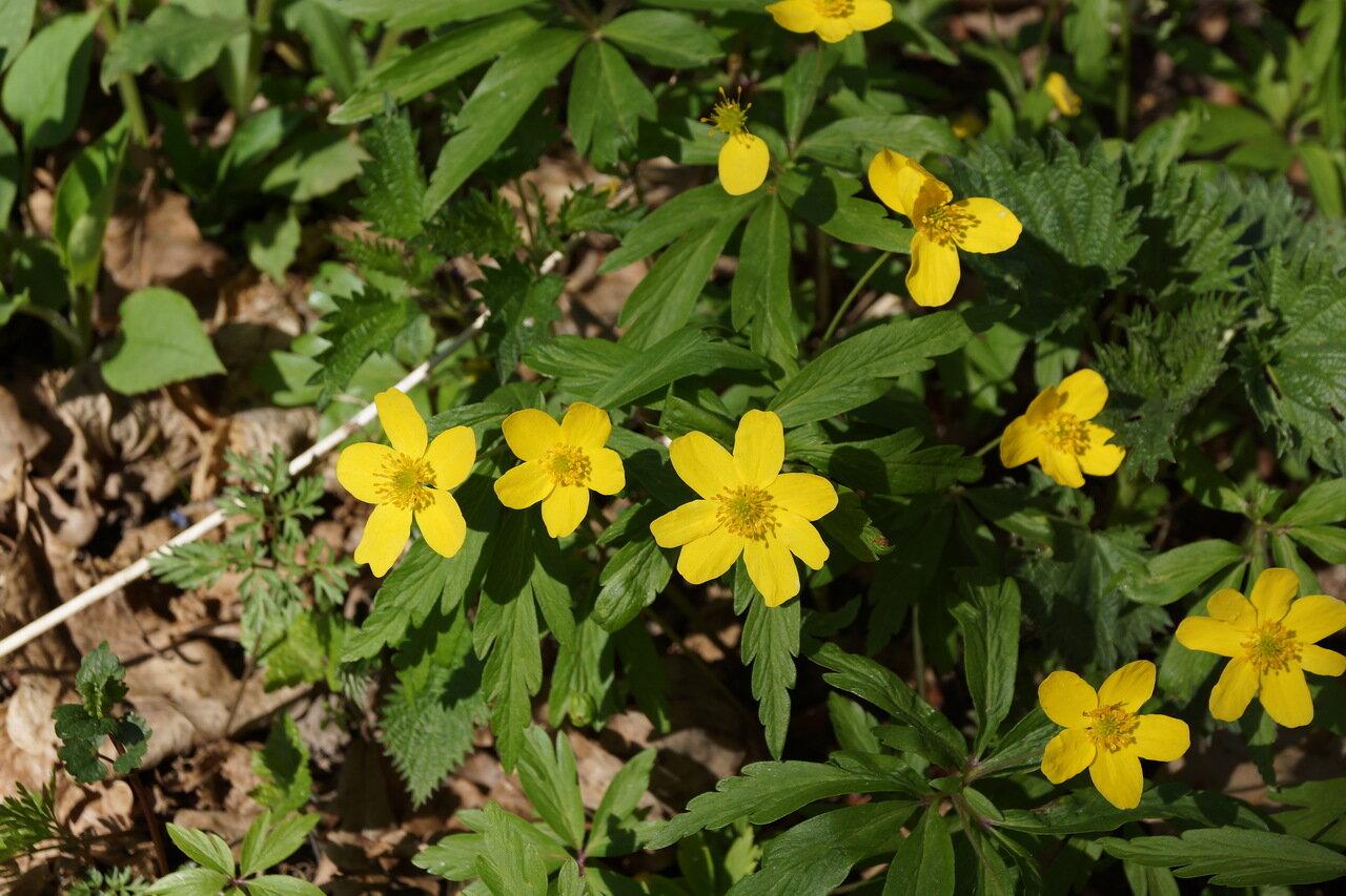 Ветреничка лютиковая (Anemonoides ranunculoides) Автор фото: Привалова Марина