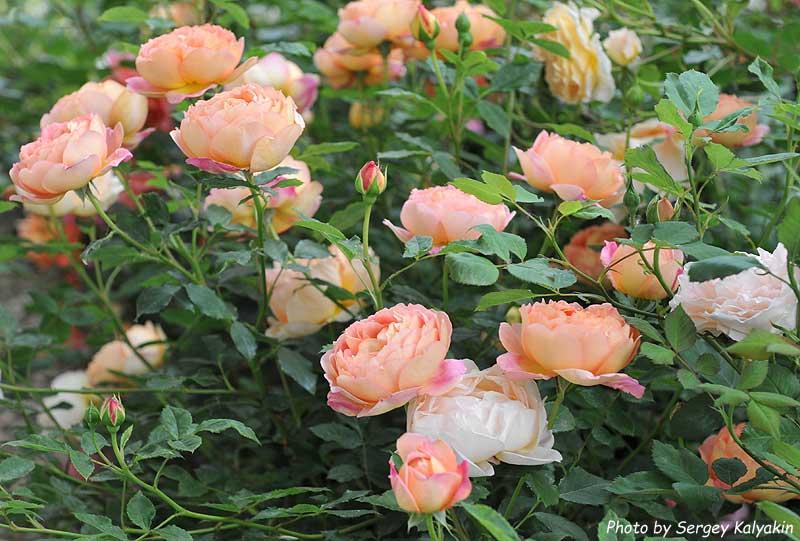 Rosa Lady of Shalott.jpg