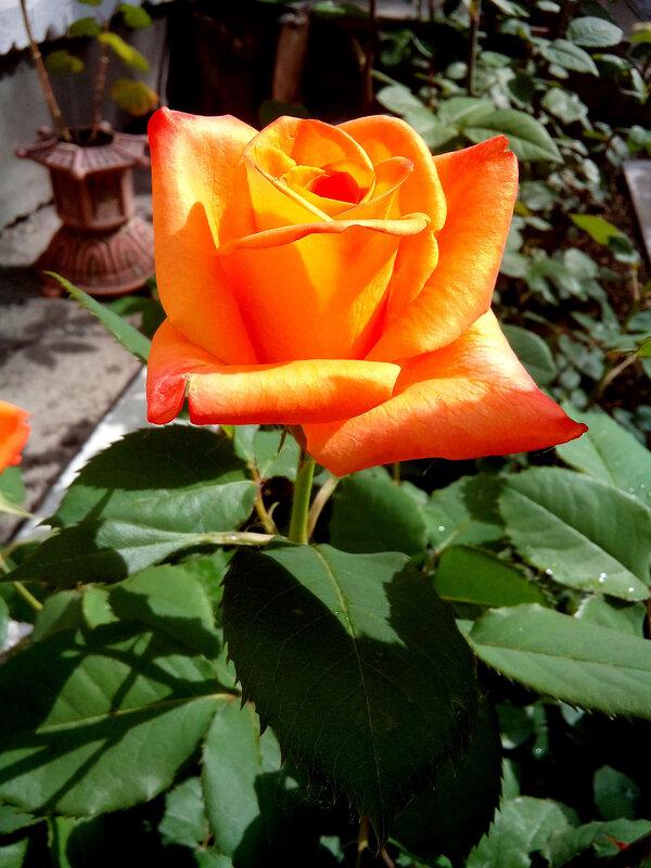 Роза-17.jpg