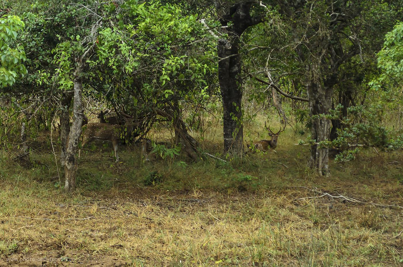 16. Фото. В какой бы курорт Шри-Ланки вы ни приехали на отдых, выделите время на посещение одного из национальных парков. Необязательно это должен быть Yala National Park. Ведь, есть ещеУилпатту, Уда-Валаве, Миннерия, Каудулла, Остров Пиджеон и другие. Настройки фотоаппарата: 320, 55, 5.6, 1/80)