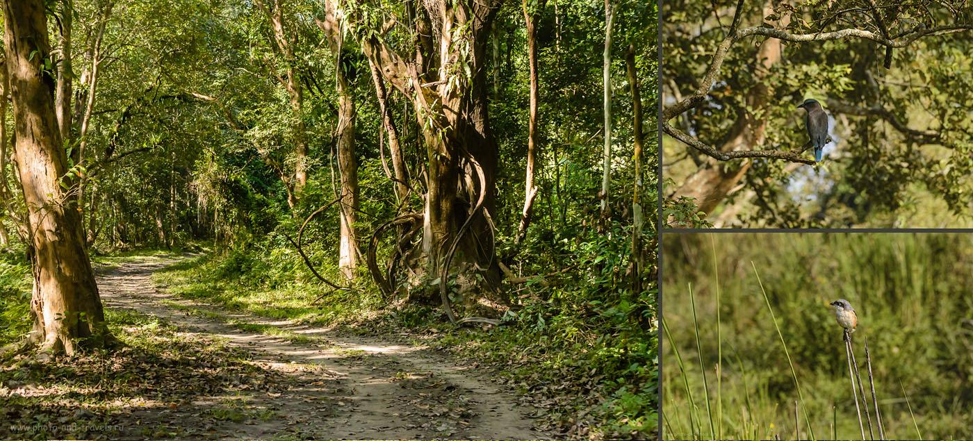 Фото 27. Джунгли в парке Казиранга в штате Ассам. Отчет о самостоятельном отдыхе в Индии в ноябре.