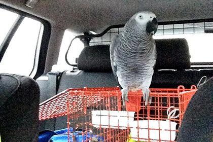 Сотрудники полиции сочли попугая неподходящей компанией для начинающей авто-леди