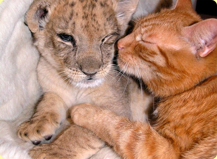 Трогательные случаи усыновления среди животных