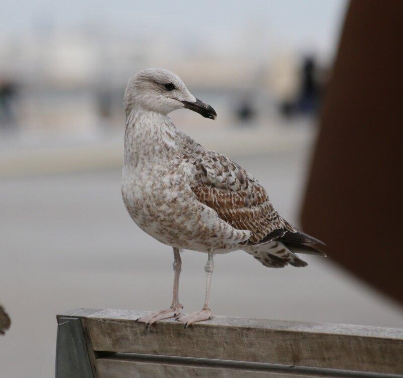 чайка.seagull