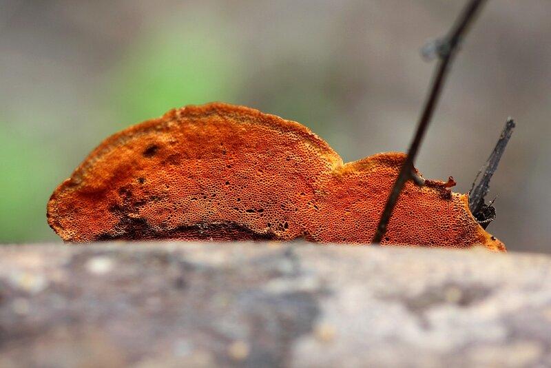 Трутовик киноварно-красный (суфлёрская будка в бальном зале фей и эльфов) Pycnoporus cinnabarinus