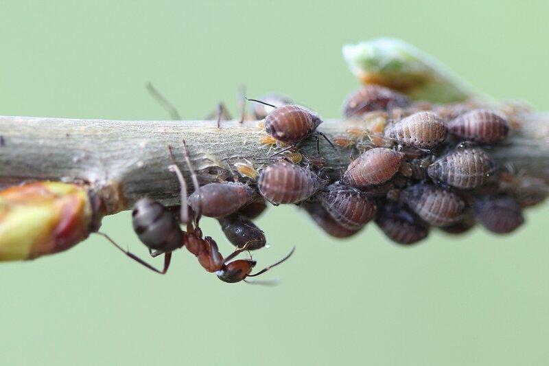 Рыжий лесной муравей (Formica rufa) просит у тли (Aphidoidea) капельку пади