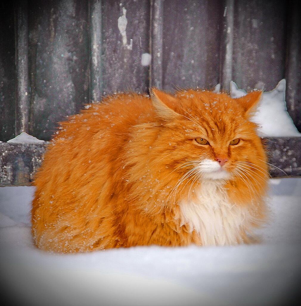 Морозоустойчивый кот