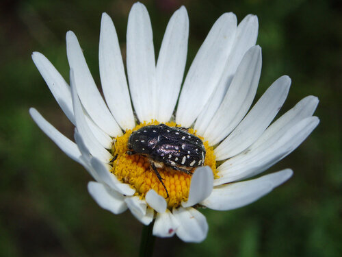 Синоним: Бронзовка траурная (Scarabaeidae: Cetoniinae) Автор фото: Владимир Брюхов