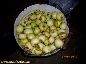 большой урожай яблок