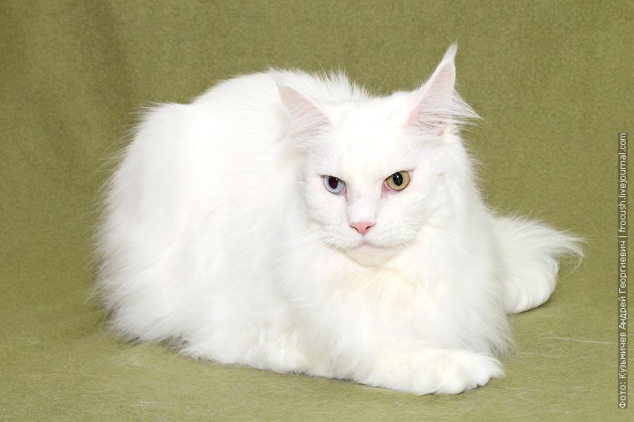 Москва белый кот Мейн-кун