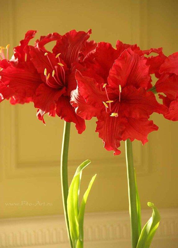 красные амариллисы, керамическая флористика