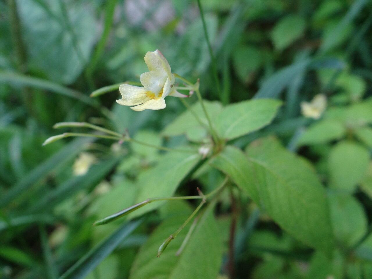 Недотрога мелкоцветковая (Impatiens parviflora). Автор фото:Привалова Марина
