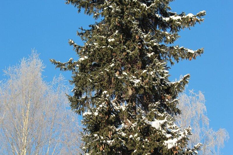 IMG_1397 белочка на высокой ели зимой