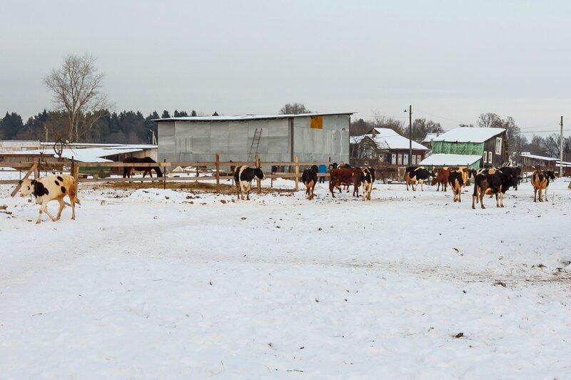 Стадо коров перед монастырем