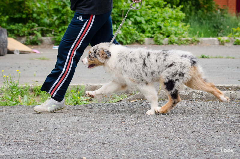 Первые щенки аусси в Пермском крае - Страница 3 0_a03ab_5ecd23c8_XL