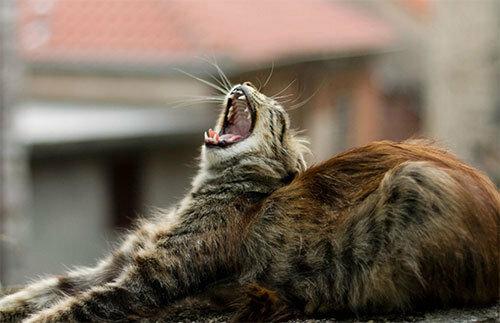 Нет большего в мире соблазна, чем засунуть палец в рот зевающему коту