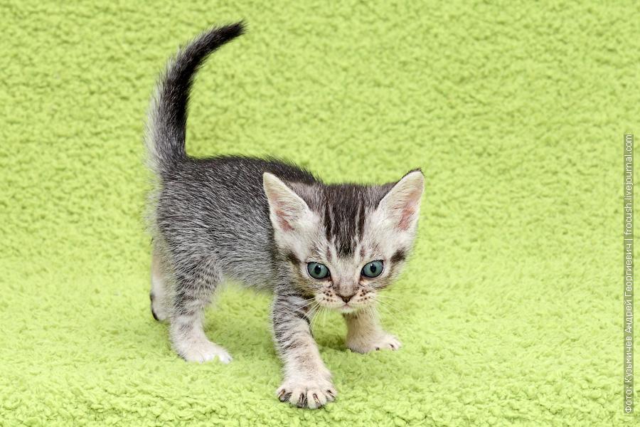 Бомбейские котята продажа