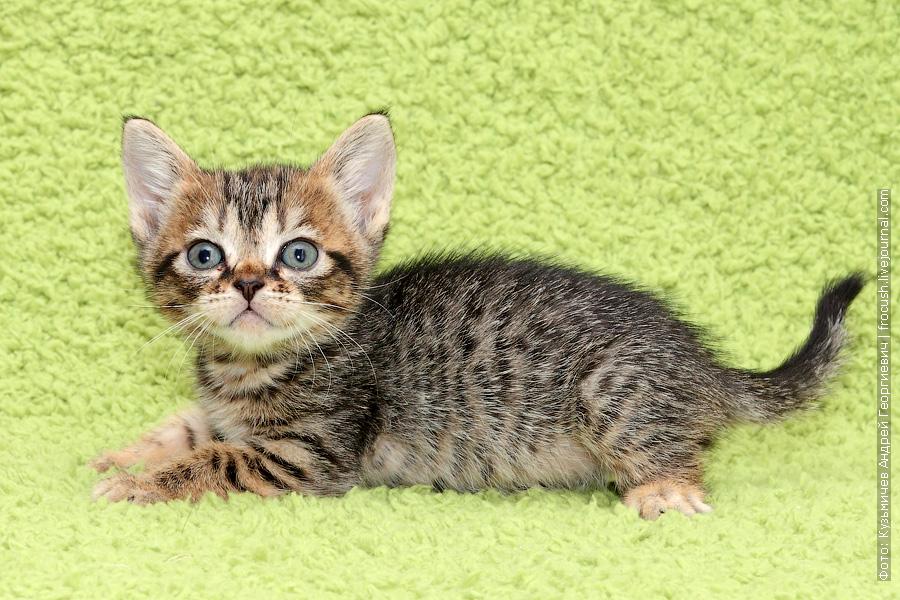 Бомбейские котята купить