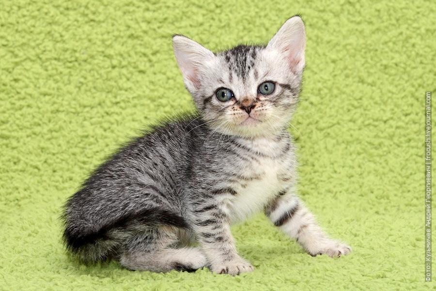 купить в Москве Бомбейские котята