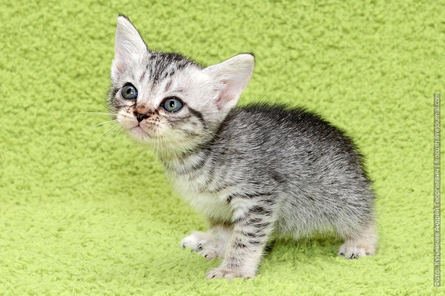 цена Бомбейские котята